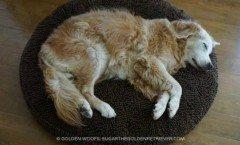 dorme cane